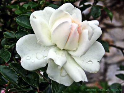 bela ruza Pokloni mi cvet i znaću šta misliš o meni