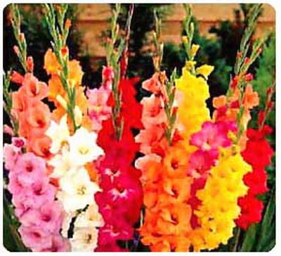 gladijole Pokloni mi cvet i znaću šta misliš o meni