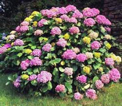 hortenzije Pokloni mi cvet i znaću šta misliš o meni
