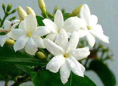 jasmin Pokloni mi cvet i znaću šta misliš o meni