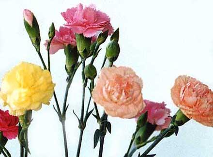 karanfil Pokloni mi cvet i znaću šta misliš o meni