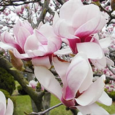 magnolija1 Pokloni mi cvet i znaću šta misliš o meni