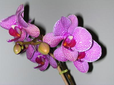 orhideja 1 Pokloni mi cvet i znaću šta misliš o meni