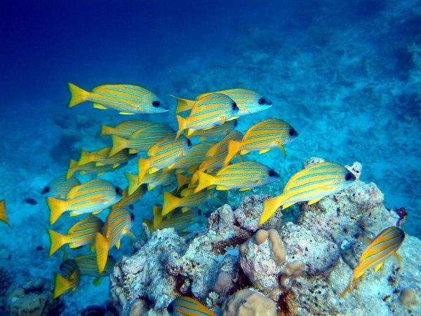 maldives diving yellow Maldivi   koralne oči okeana