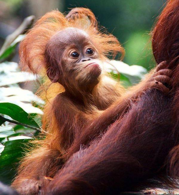 orang singapore zoo Najbolji zoo vrtovi sveta