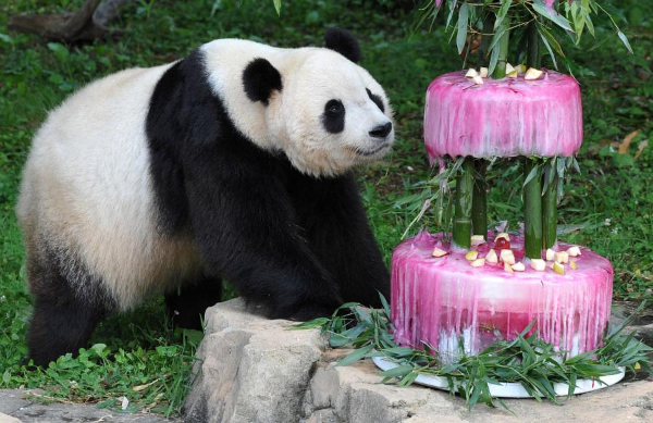 panda slavi rodjendan u vasingtonskom zoo Najbolji zoo vrtovi sveta