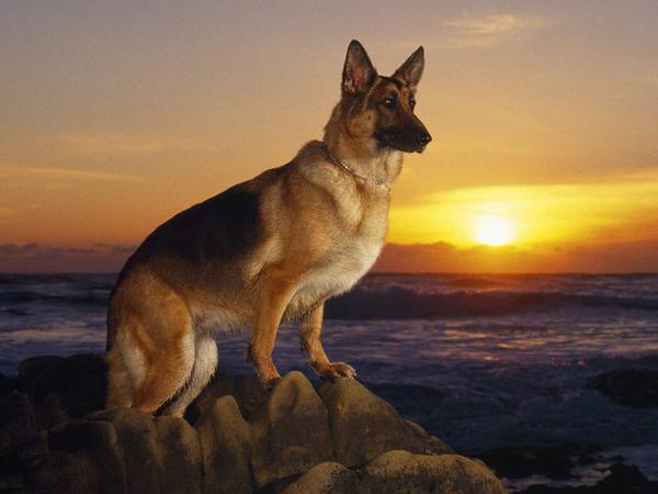 slika 21 Top 10 najvernijih rasa pasa