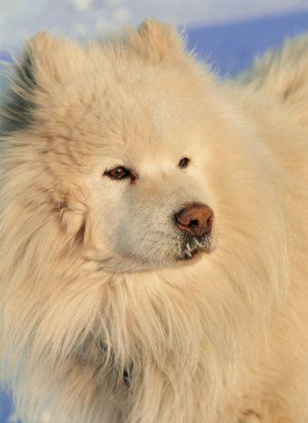 Slika 2 2 Pas koji se smeje   Samojed