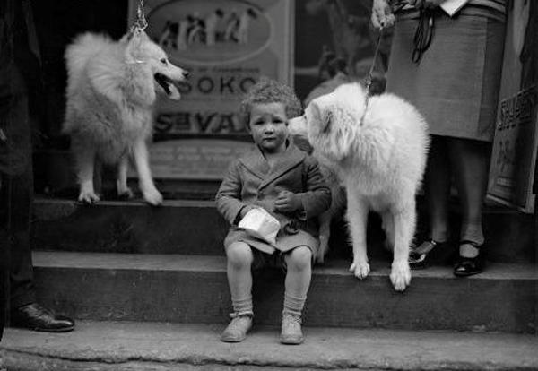 Slika 36 Pas koji se smeje   Samojed