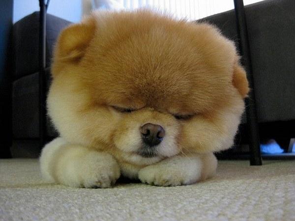 Boo1 Boo, najslađi pas na svetu