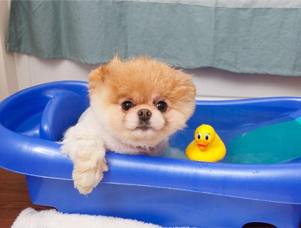 Boo3 Boo, najslađi pas na svetu