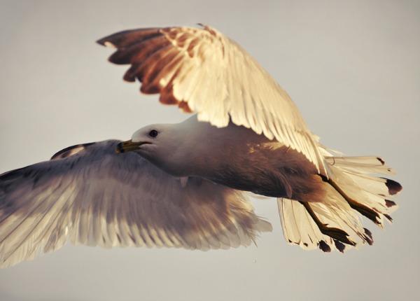 Jonathan Livingston Seagull by Ashwings 3 u 1: Otkrijte svoje tajne i snove