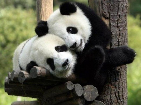 imagen oso panda imajen ositos fotografias fotos 600x431 Snimi ovo: Činjenice o životinjama