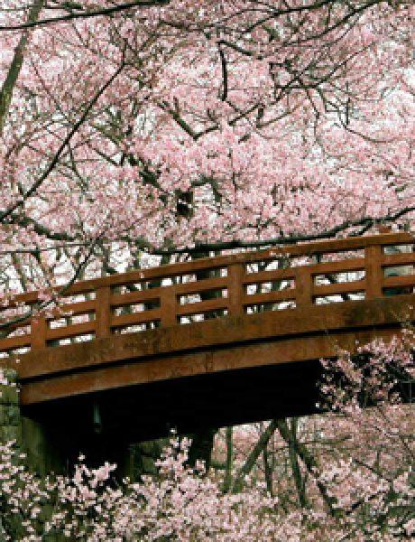 Gde cvetaju najlepše divlje trešnje?