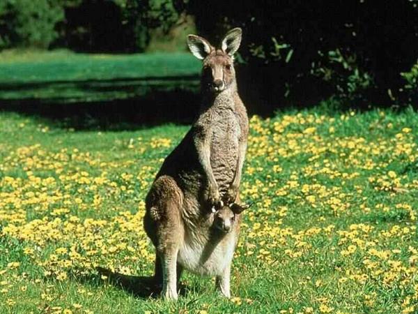 kengur 1024x768 Kad porastem biću kengur