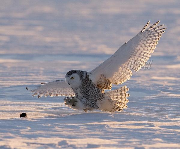 snežna sova Najbolje fotografije, iliti svaki trud se isplati