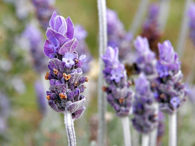 Lavanda Brini o sebi: A kao aromaterapija (1/3)