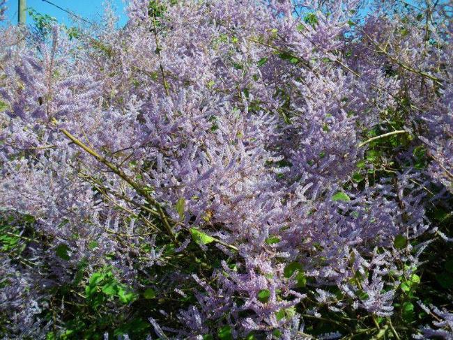 Paculi Brini o sebi: A kao aromaterapija (2/3)
