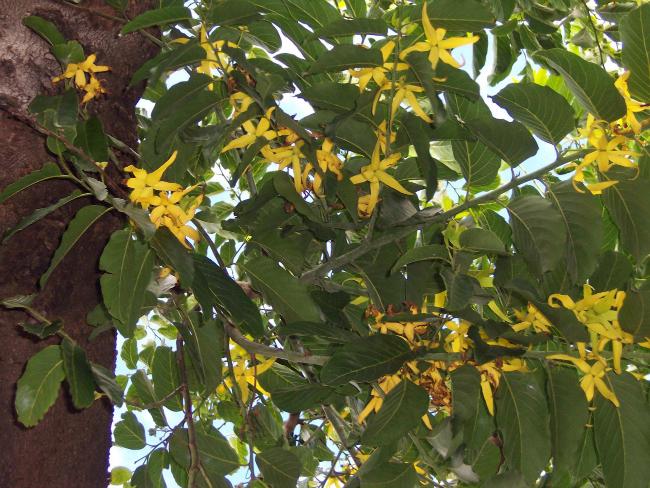 Ylang Ylang Brini o sebi: A kao aromaterapija (3/3)