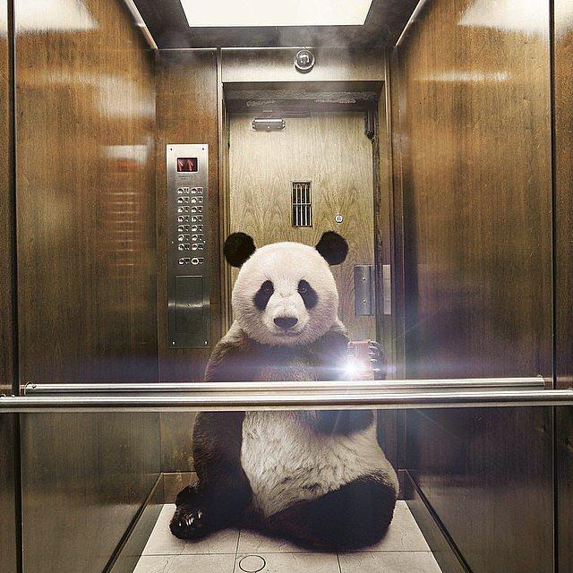 Panda Pic Selfie manija: Kad bi životinje pravile selfije
