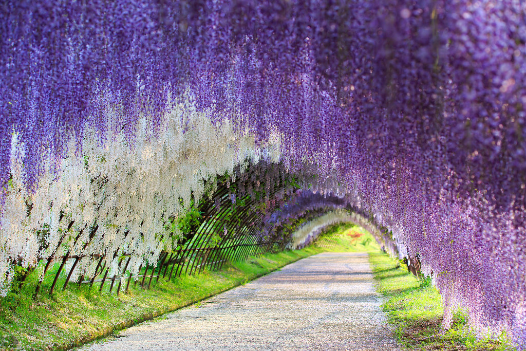 Run Through Wisteria Flower Tunnel Japan Put pod noge: Neobična iskustva sa putovanja