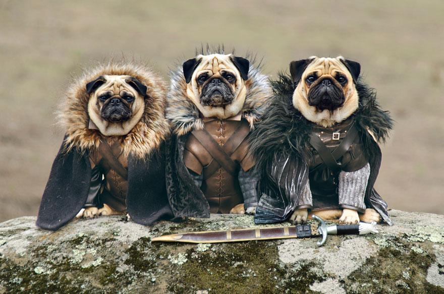 cute pugs game of thrones pugs of westeros 1 Slatka stvorenja: Game of Thrones pugne