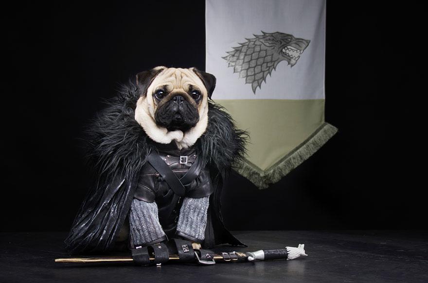 cute pugs game of thrones pugs of westeros 2 Slatka stvorenja: Game of Thrones pugne