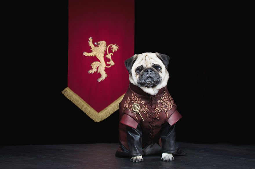 cute pugs game of thrones pugs of westeros 3 Slatka stvorenja: Game of Thrones pugne