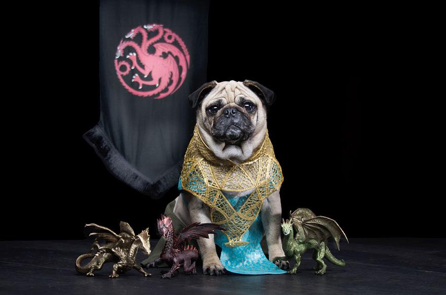 cute pugs game of thrones pugs of westeros 4 Slatka stvorenja: Game of Thrones pugne