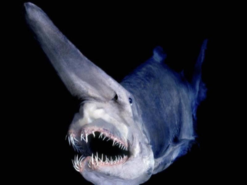 ocean creatures goblin shark Razmisli pre nego što zaplivaš: Najbizarnija morska stvorenja