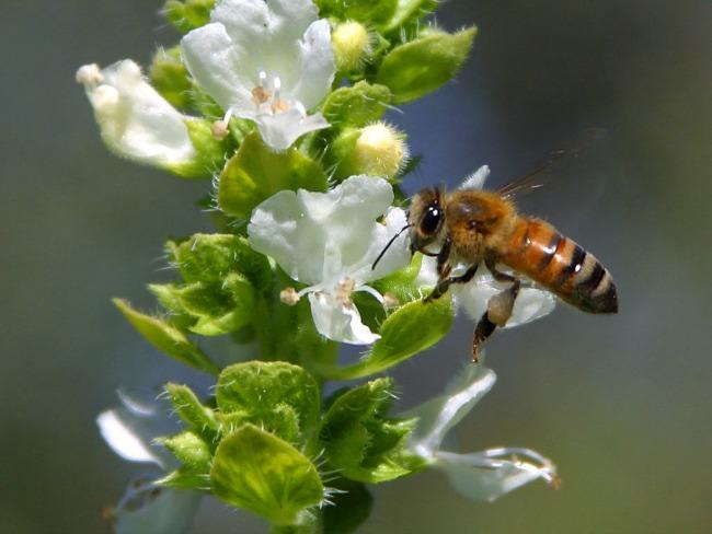 Propollete pčela cvet Kada birate propolis, izaberite PURE Propolis