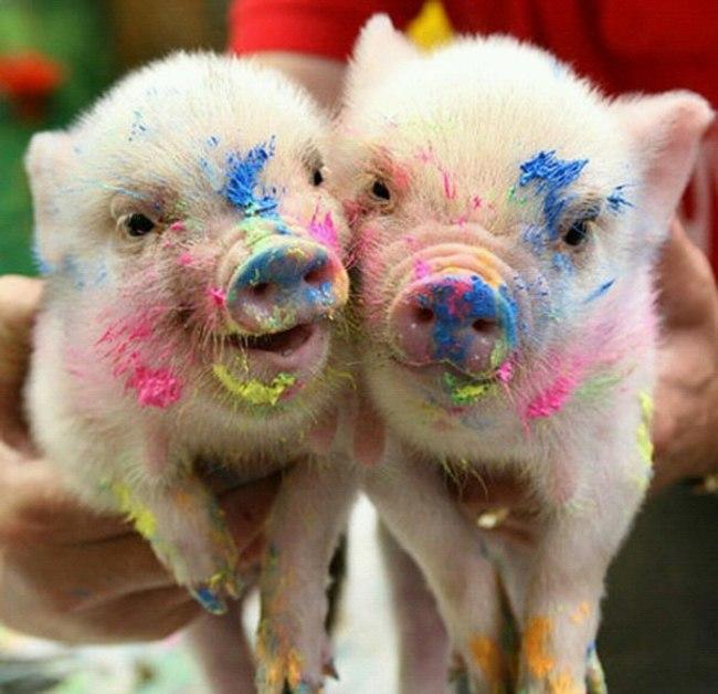 Zašto vam je svinjče neophodno u životu 2 Zašto vam je svinjče neophodno u životu?