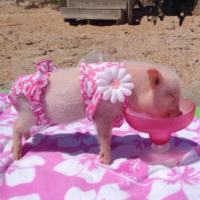 Zašto vam je svinjče neophodno u životu 4 Zašto vam je svinjče neophodno u životu?
