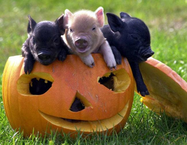 Zašto vam je svinjče neophodno u životu 5 Zašto vam je svinjče neophodno u životu?