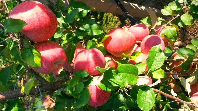 berba1 Šta su Kiku jabuke i šta ih čini tako posebnim?
