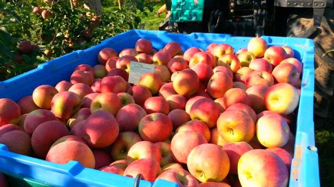berba4 Šta su Kiku jabuke i šta ih čini tako posebnim?