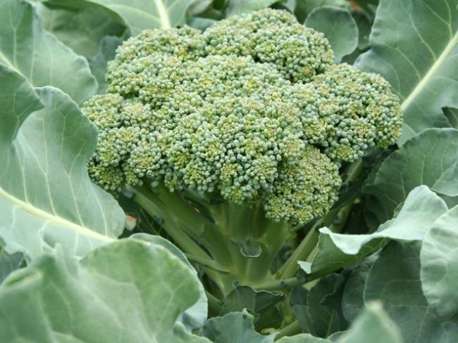 broccoli Plodovi jeseni donose zdravlje