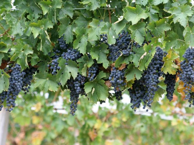 grožđe Plodovi jeseni donose zdravlje