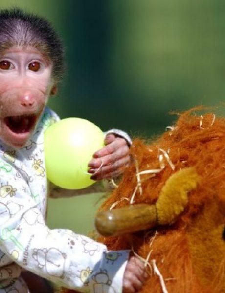Majmun koji se ponaša kao beba