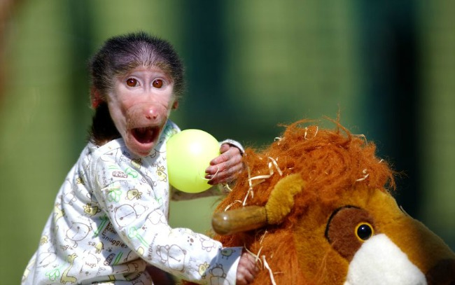 majmun11 Majmun koji se ponaša kao beba