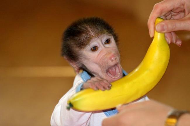 majmun22 Majmun koji se ponaša kao beba