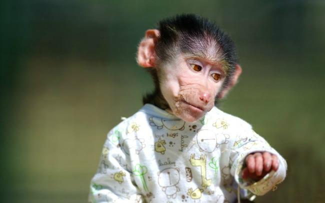 majmun55 Majmun koji se ponaša kao beba