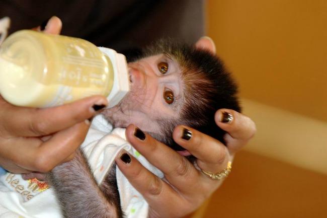majmun66 Majmun koji se ponaša kao beba