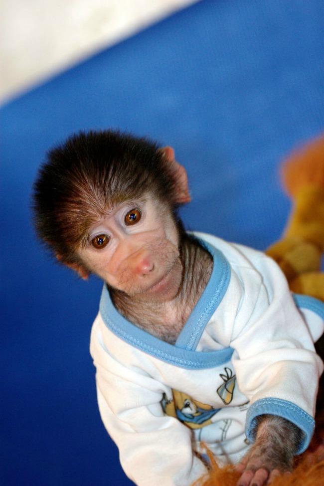 majmun77 Majmun koji se ponaša kao beba