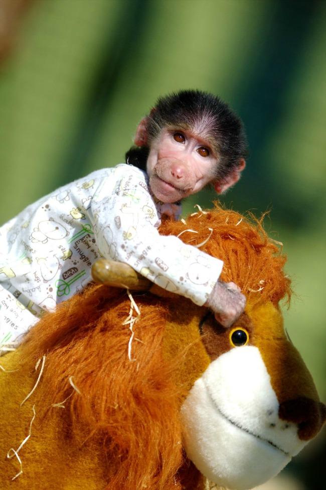 majmun88 Majmun koji se ponaša kao beba