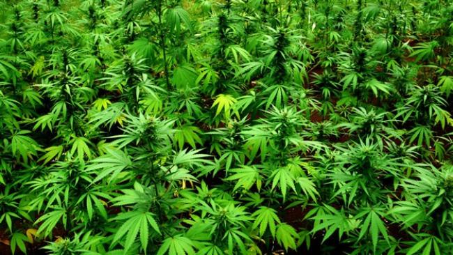 marihuana1 Marihuana: Droga ili lek