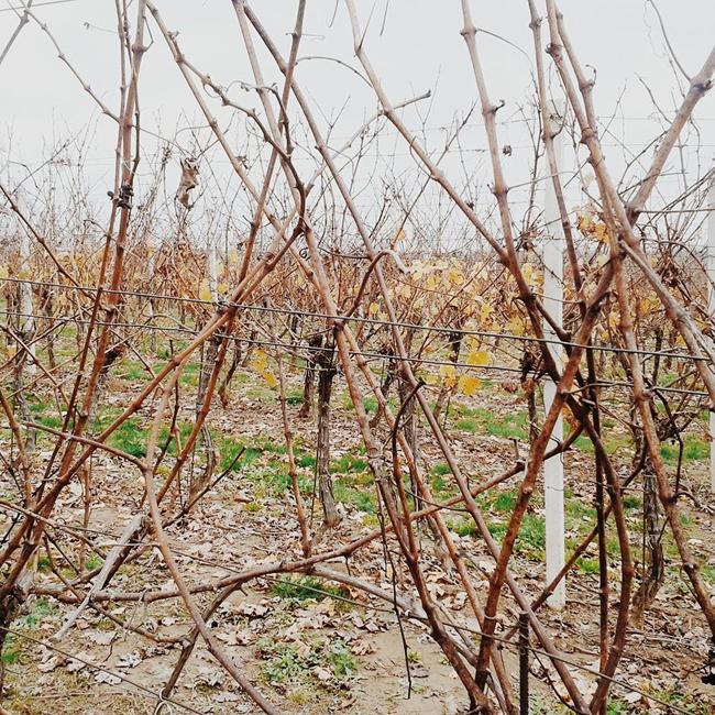 belje vina hrvatska vinarija vinograd 7 Instagram izveštaj: Vina Belje