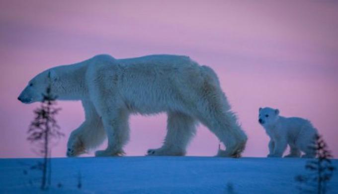 Beli medvedi 1 Neodoljive fotografije polarnih medveda koje će vas raznežiti