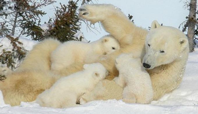 Beli medvedi 3 Neodoljive fotografije polarnih medveda koje će vas raznežiti