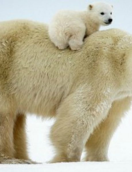 Neodoljive fotografije polarnih medveda koje će vas raznežiti